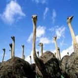 کارآفرینی پرورش شتر مرغ