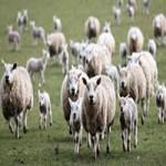 کارآفرینی پرورش ۱۰۰ راس گوسفند-1